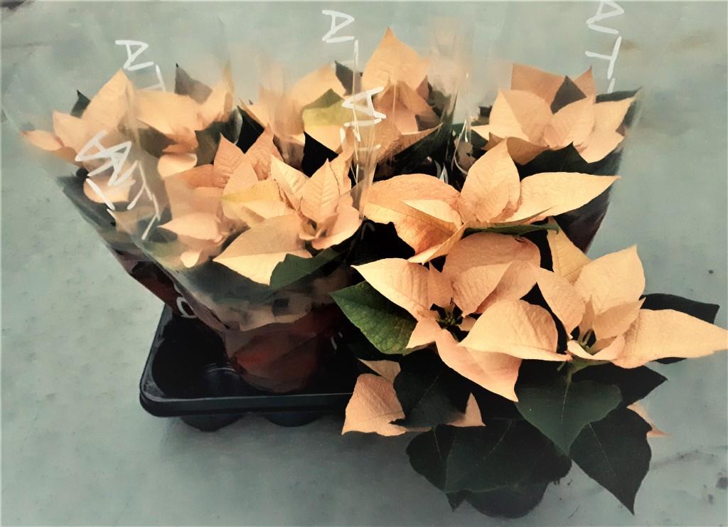 poinsettia automn leaves