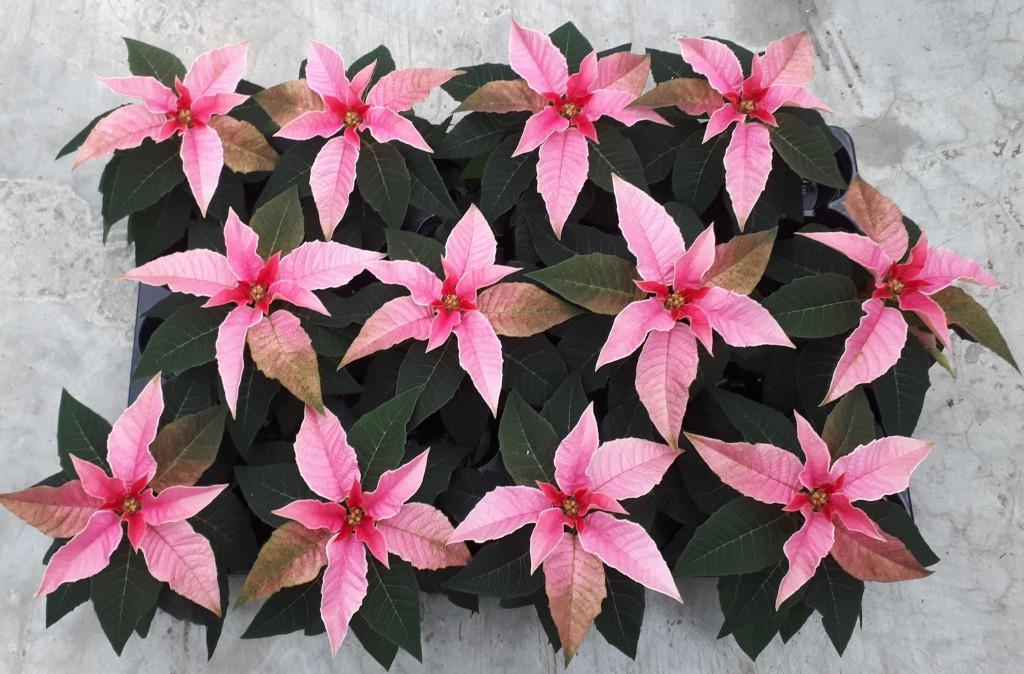 princettia pink2