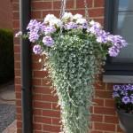 Prachtige hangbasket met witte staande geraniums, hangverbena en dichondra