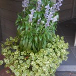 Salvia Sallifun en hydrocotile