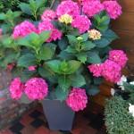 Hortensia, een pracht in zijn eenvoud en schitterend in kleur