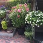 Gezellig hoekje met oleander, dubbele hangpetunia, salvia, hydrocotile, mesembryanthemum, fuchsia, Lysimachia, Salvia, sedum, dichondra,...