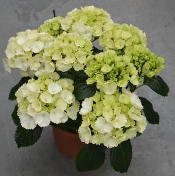 Hortensia schneeball 6-9